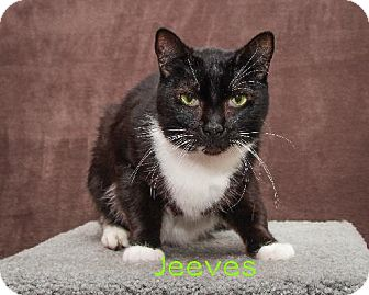 Domestic Shorthair Cat for adoption in Battle Ground, Washington - Jeeves