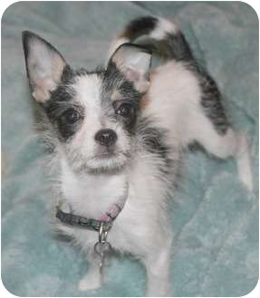 Chihuahua/Terrier (Unknown Type, Small) Mix Puppy for adoption in Yorba Linda, California - Katie