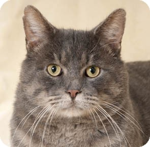 Domestic Shorthair Cat for adoption in Chicago, Illinois - Archie