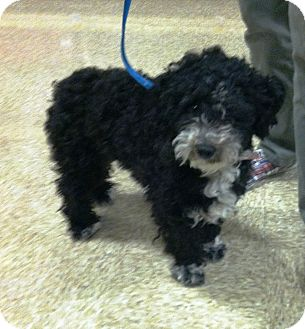 Poodle (Miniature)/Spaniel (Unknown Type) Mix Dog for adoption in Santa Ana, California - Curley Sue