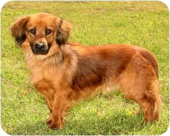 Dachshund/Cocker Spaniel Mix Puppy for adoption in Marina del Rey, California - Harvey