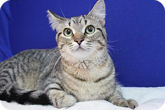 Domestic Shorthair Cat for adoption in Midland, Michigan - Catniss