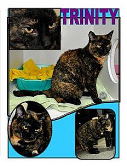 Domestic Shorthair Cat for adoption in Siler City, North Carolina - Trinity