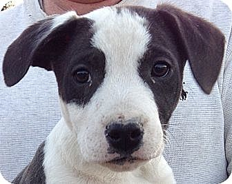 Corgi/Border Collie Mix Puppy for adoption in West Sand Lake, New York - Outlaw (10 lb)