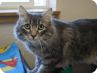 Domestic Mediumhair Cat for adoption in Libby, Montana - Mossco