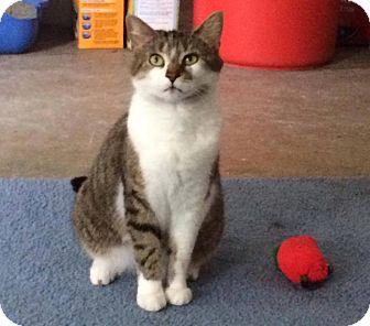 Domestic Shorthair Cat for adoption in Transfer, Pennsylvania - Greta