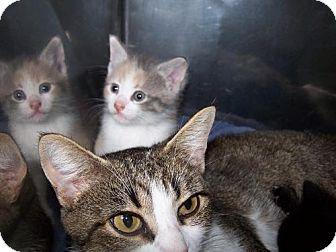 American Shorthair Kitten for adoption in Libertyville, Illinois - Sunshine NEEDS FOS