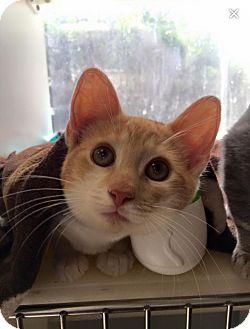Domestic Shorthair Kitten for adoption in Wantagh, New York - Romeo