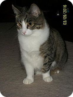 Domestic Shorthair Cat for adoption in San Jose, California - Beamer