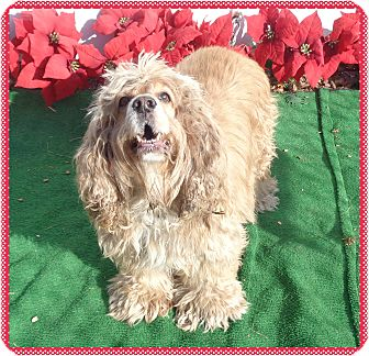 Cocker Spaniel Mix Dog for adoption in Marietta, Georgia - JAMES BROWN