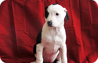 Boxer Mix Puppy for adoption in Marion, North Carolina - Oreo