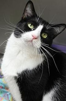 Domestic Shorthair Cat for adoption in Yukon, Oklahoma - Flower