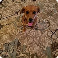 Adopt A Pet :: Amelia - Fredericksburg, VA