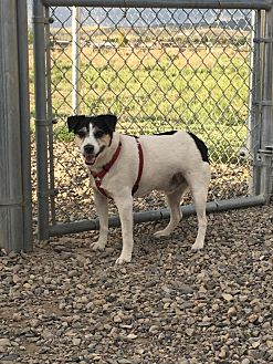 Jack Russell Terrier Mix Dog for adoption in Gunnison, Colorado - Jack