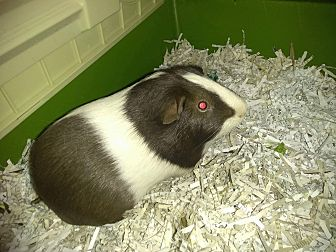 Guinea Pig for adoption in Lancaster, California - Bert