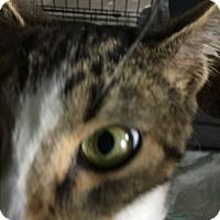 Adopt A Pet :: Bonino - Greensburg, PA