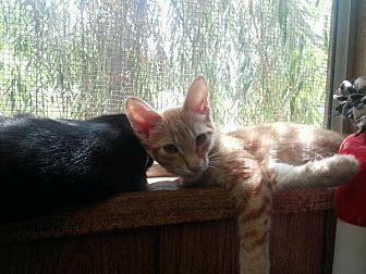 Domestic Shorthair Kitten for adoption in Parlier, California - Kitten 15790