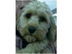 Cockapoo Puppy for adoption in Provo, Utah - TOPAZ