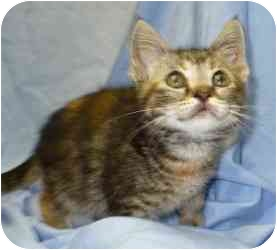 Domestic Shorthair Kitten for adoption in Bay City, Michigan - Snoopy~~PENDING ADOPTION~~