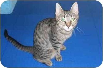 Bengal Cat for adoption in New York, New York - Little Dude