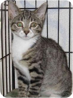 Domestic Shorthair Kitten for adoption in Catasauqua, Pennsylvania - Sydney