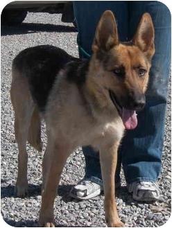 German Shepherd Dog Dog for adoption in Las Vegas, Nevada - Grace