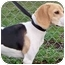 Photo 2 - Beagle Dog for adoption in Portland, Oregon - Porsche