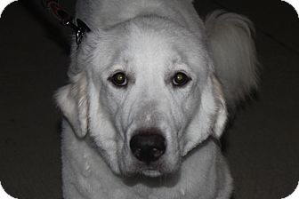 Great Pyrenees Dog for adoption in McKinney, Texas - Frodo