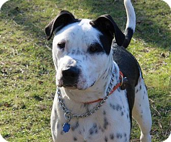 Dalmatian/Terrier (Unknown Type, Medium) Mix Puppy for adoption in Tinton Falls, New Jersey - Gizmo