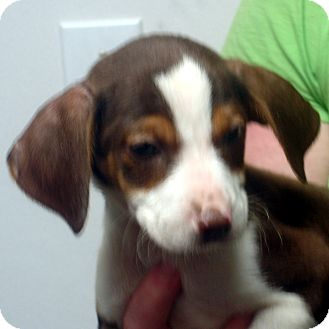 Beagle/Feist Mix Puppy for adoption in Greencastle, North Carolina - Cletus