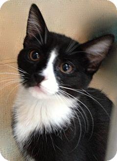 Domestic Shorthair Kitten for adoption in Hamilton, New Jersey - KATIE - 2013