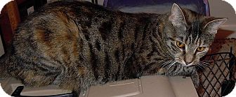 Domestic Shorthair Cat for adoption in Jacksonville, North Carolina - Kitzie