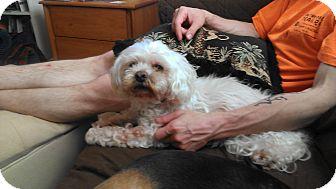 Lhasa Apso/Maltese Mix Dog for adoption in Wilmington, Delaware - Emmett