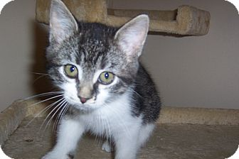 Domestic Shorthair Kitten for adoption in Pueblo West, Colorado - Priscilla