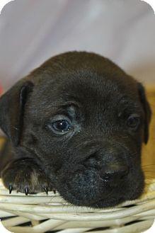 Labrador Retriever Mix Puppy for adoption in Waldorf, Maryland - Zeke