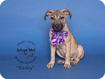 Shepherd (Unknown Type)/Hound (Unknown Type) Mix Puppy for adoption in Portland, Oregon - Bailey