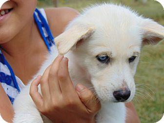 German Shepherd Dog/Husky Mix Puppy for adoption in Greeneville, Tennessee - Blizzard