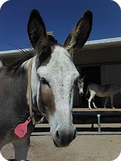 Donkey/Mule/Burro/Hinny Mix for adoption in Bennett, Colorado - Elsa