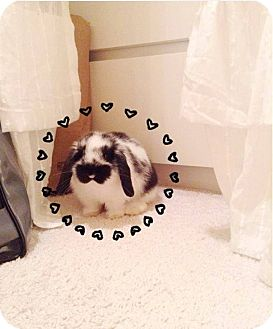 Lop, Holland Mix for adoption in Seattle c/o Kingston 98346/ Washington State, Washington - Oreo