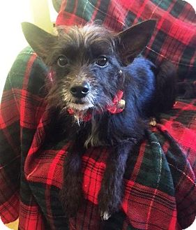Terrier (Unknown Type, Medium) Mix Dog for adoption in Dover, Tennessee - NOODLES