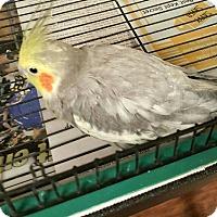 Adopt A Pet :: Petey - Lenexa, KS