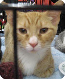 Domestic Shorthair Kitten for adoption in New york, New York - NUTMEG