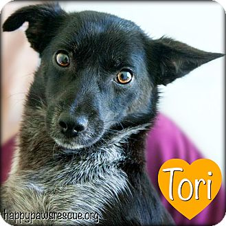 Pomeranian/Chihuahua Mix Dog for adoption in South Plainfield, New Jersey - Tori