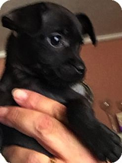 Chihuahua Mix Puppy for adoption in Thousand Oaks, California - Jack