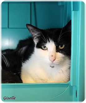 Domestic Shorthair Cat for adoption in Welland, Ontario - Giselle
