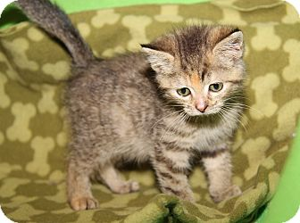 Domestic Shorthair Kitten for adoption in Marietta, Ohio - Tinkerbell