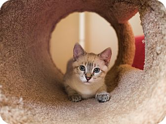Siamese Kitten for adoption in San Diego, California - Marcie