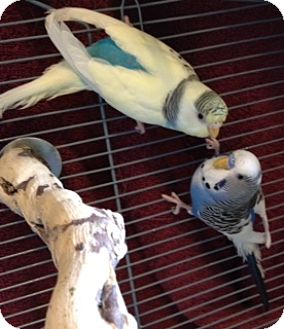 Budgie for adoption in Cheektowaga, New York - Wally and Eve