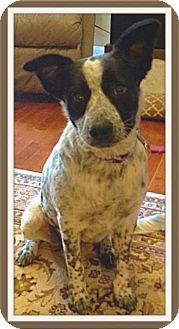 Australian Cattle Dog Mix Dog for adoption in Huntsville, Alabama - Oreo
