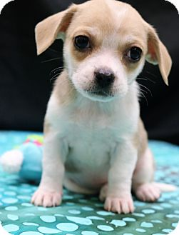Pug/Beagle Mix Puppy for adoption in Southington, Connecticut - Lilly